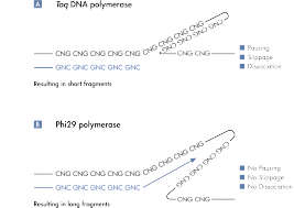 Unbiased amplification with Phi 29 polymerase.